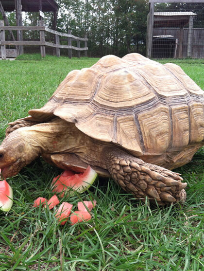 Turtle Eating Watermelon